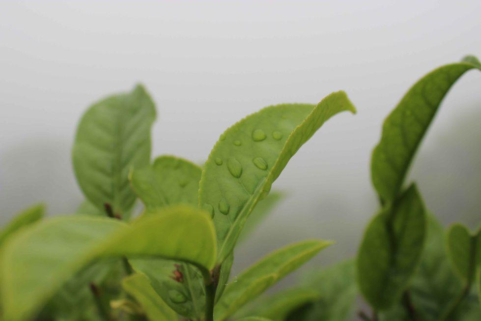 Tea leaves on a misty morning in Fujian.